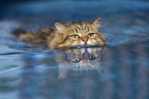 Kucing renang
