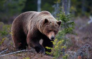 Beruang Coklat