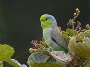 Burung Pacific Parrotlet