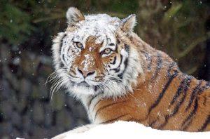 Harimau Amur