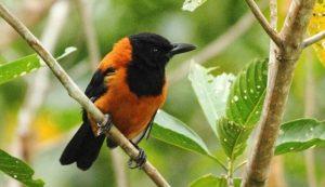 Burung Hooded Pitohui