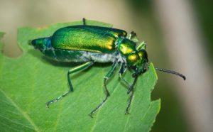 Kumbang Spanyol