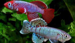 Ikan Killi
