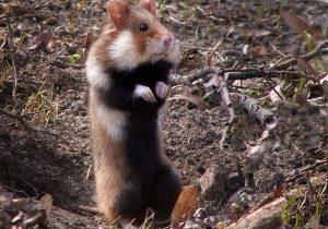 Hamster Liar