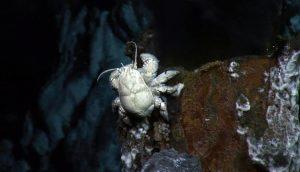 Kepiting Hoff