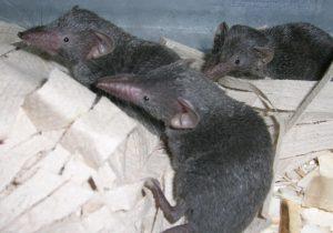 Tikus Celurut