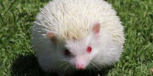 Landak Mini Albino