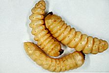 Kumbang huhu