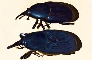 Kumbang kelapa